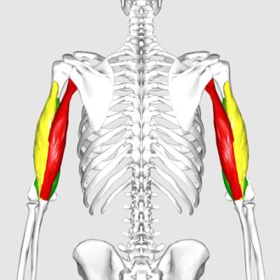 Trizeps Anatomie